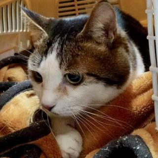 急募 白黒茶ブチ猫ちゃんの里親さん