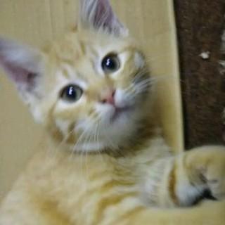 元気で人懐こい茶トラ子猫の里親さん募集!