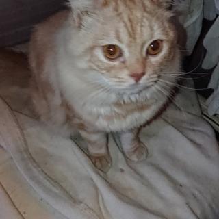ミルキー色のチンチラmixの子猫!