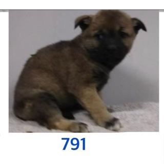 子犬たちの家族募集しています。791〜793番。