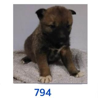 子犬たちの家族募集しています。794〜796番。