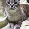飼い猫です。ベージュの10才 洋猫と日本猫ミックス サムネイル2