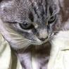 飼い猫です。ベージュの10才 洋猫と日本猫ミックス サムネイル4