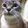 飼い猫です。ベージュの10才 洋猫と日本猫ミックス サムネイル7