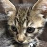 とても小柄なキジトラ