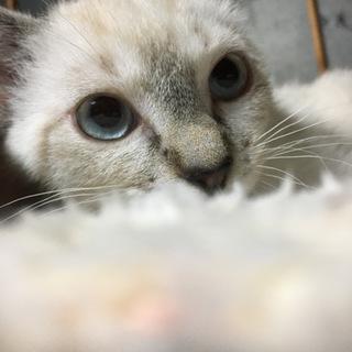 3ヶ月ブルーアイ子猫