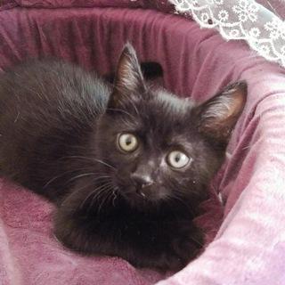 懐こく可愛い黒猫フーフー君4カ月