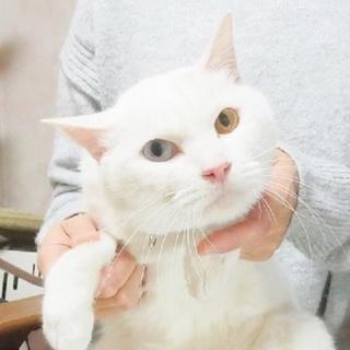 12/23銀座★アオくん★オッドアイの美形白ネコ