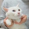 12/23銀座★アオくん★オッドアイの美形白ネコ サムネイル3