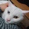 12/23銀座★アオくん★オッドアイの美形白ネコ サムネイル5