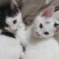 白黒の姉妹猫さん、2カ月半