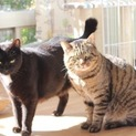 甘えん坊の仲良し大柄猫さん、2匹一緒に