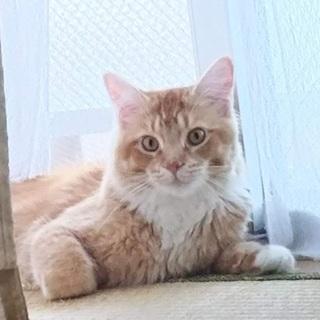 メインクーン仲良しパパママと息子猫です。