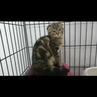 スコティッシュミックス子猫