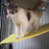 今年10月に保護した三毛 子猫の里親さん募集中