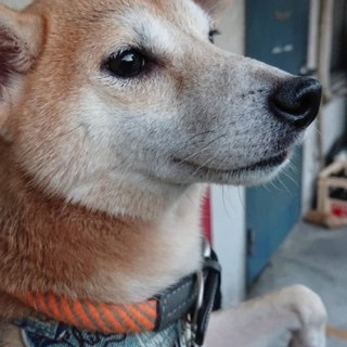 柴犬のアサちゃん