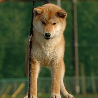 健全で性格良しな柴犬オス1歳。千葉県限定
