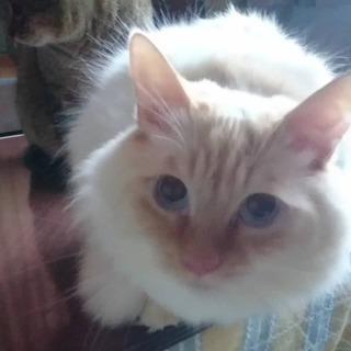 ラグドール風の美猫
