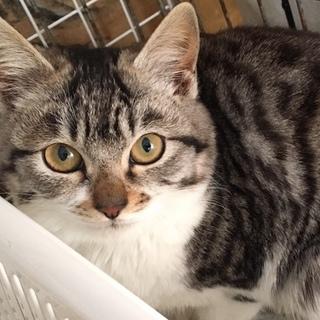 保護猫3ヶ月 母はペルシャ父は雑種、の女の子です
