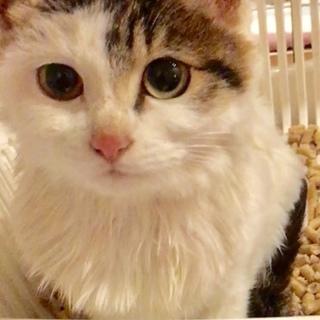 保護猫3ヶ月母はペルシャ父は雑種、の女の子です