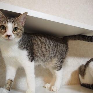 ブリュレ君 生後8か月 人が大好き抱っこ猫