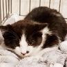 募集一旦停止  黒白の可愛い仔猫!