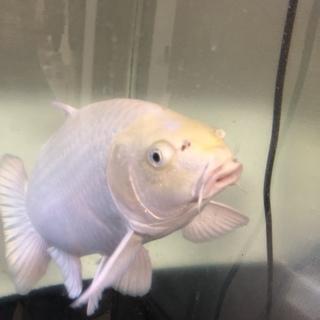 プラチナ錦鯉