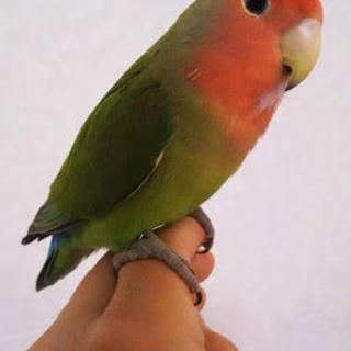 インコ複数羽