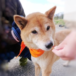 柴犬のかわいい男の子