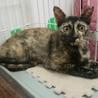 ついほかの猫に遠慮しちゃうサビのシーちゃん サムネイル3