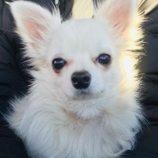 生後8ヶ月、可愛く賢いチワワ「フレディ」