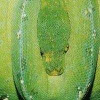 ミドリニシキヘビ