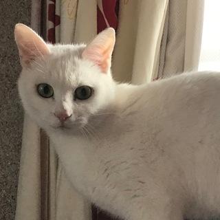 """白猫の女の子""""のんちゃん"""""""