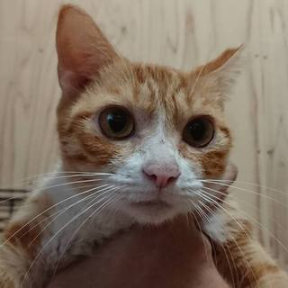 【交渉中】小柄で美猫なスズ。大人しく甘えん坊です。