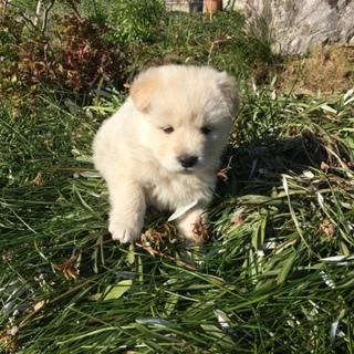 生後2ヶ月4兄弟の子犬(No.1 シロムク♂)
