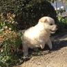 生後2ヶ月4兄弟の子犬(No.1 シロムク♂) サムネイル2