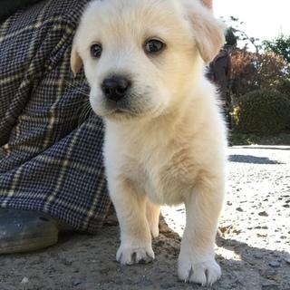 生後2ヶ月4兄弟の子犬(No.2 シロ♂)