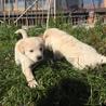 生後2ヶ月4兄弟の子犬(No.2 シロ♂) サムネイル2