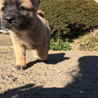 生後2ヶ月4兄弟の子犬(No.3 チャチャ♂)