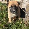 生後2ヶ月4兄弟の子犬(No.4 チャコ♀)