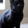 黒ヒョウのような黒猫
