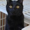 黒ヒョウのような黒猫 サムネイル3