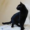 黒ヒョウのような黒猫 サムネイル4