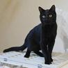 黒ヒョウのような黒猫 サムネイル7