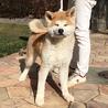 秋田犬の子犬 赤毛オス