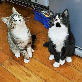 コロコロ 姉妹ペア子猫(2か月)