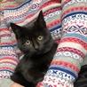 なつこいフワモコ生後3か月、黒の子猫・男の子です