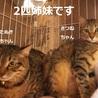 おとな猫大好き!な美人系キジちゃん サムネイル7