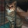 可愛いお顔のシルバーのきじ猫さんです。 サムネイル2