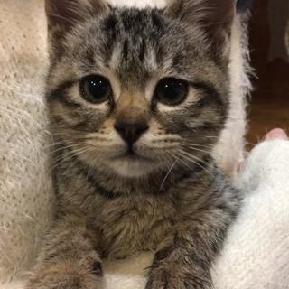 生後3か月位のキジトラ♀